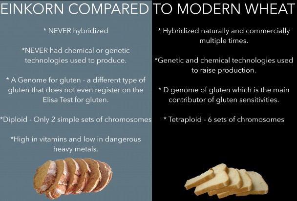 Einkorn compared to modern wheat